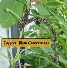 Diseases In Plants And Animals - stop milkweed pests from ruining milkweed for monarchs