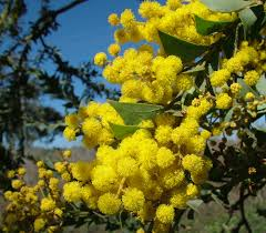 types of native plants acacia cultriformis knife leaf wattle is a large shrub growing