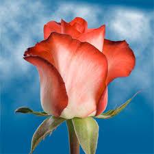 global roses blush roses global