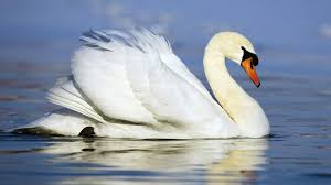 animated swans wallpaper of a beautiful white swan swimming