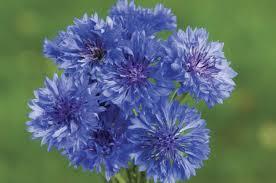 top 10 old fashioned flowers flower gardening birds u0026 blooms