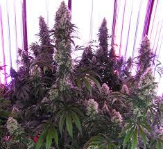 chambre de sechage cannabis chambre graines de
