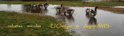 hola como puedo hacer unas alas de pato para nia de 4 cabañas avícolas el choique argentavis el pato pekín