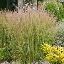 feather reed grass eldorado for sale greener earth nursery
