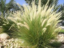 ornamental grass pictures images and stock photos istock