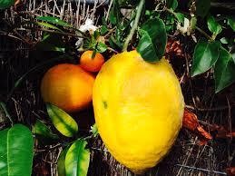 forum etrog citron