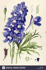 Poisonous Garden Flowers by Larkspur Delphinium Grandiflorum Poisonous Plants Illustrations