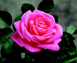 Very Fragrant Plants - our list of the most fragrant roses peter mayle star roses