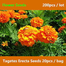 use as ornamental plants tagetes erecta seeds 200pcs novel plant