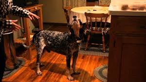 6 month old bluetick coonhound weight bluetick coonhound sing along youtube