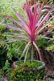 la collection globe planter cordyline australe pink passion
