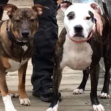 american pitbull terrier qualities pit bull blog pit bull dog breed articles