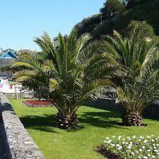 outdoor palm tree l palm tree garden patio ebay