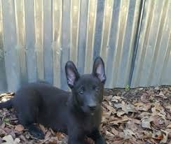 belgian shepherd x puppies for sale view ad belgian malinois dutch shepherd dog mix puppy for sale