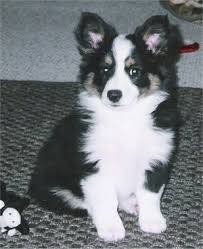 aussie corgi dog breed information