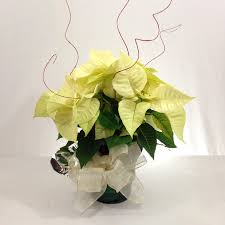 white poinsettia relles florist sacramento flowers real local florist flowers