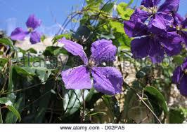 clematis beautiful purple flowers an ornamental climbing