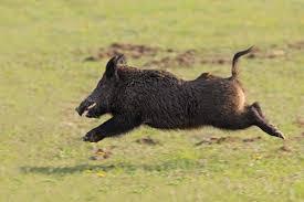Utah wild animals images Wild pig wreaks havoc near idaho utah border members jpg