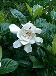 gardenia flower gardenia jasminoides