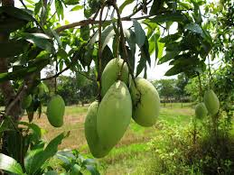 Mango Boom brecht jolanda 盪 mango mania