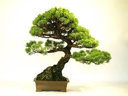 japanese macro bonsai tree export just export ready bonsai