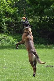 belgian sheepdog malinois free images nature run jump summer throw race vertebrate