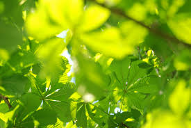 palmately compound tree leaves patternpictures com