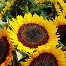 sunflower seeds sunflower seeds in bulk or packets for planting