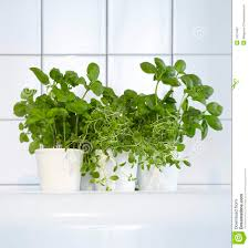 Kitchen Herb by Fresh Herbs In Kitchen Royalty Free Stock Photography Image