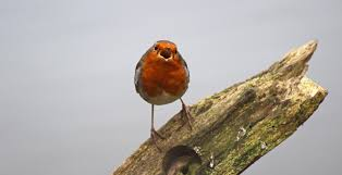 sconzani british birds little robin redbreast