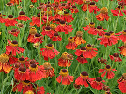 red flowers name that plant queen victoria lobelia has some of the