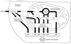 blank blank electron transport chain diagram