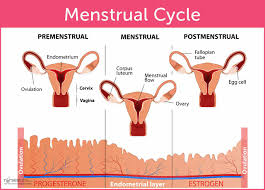 the menstrual cycle and menstrual disorders u2022 nurseslabs