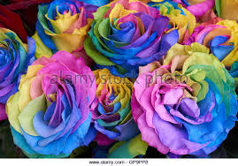 multicolored roses multicolored roses flower background stock photos multicolored