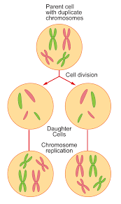 cell division ck 12 foundation