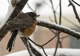 Audubon Backyard Bird Count by Audubon U0027s Great Backyard Bird Count U2013 Locker Room News