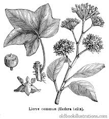plants native to europe common ivy u2013 old book illustrations