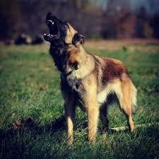 belgian sheepdog merchandise 618 best dogs images on pinterest animals german shepherds and