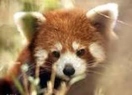 symbiotic relationships rad red pandas