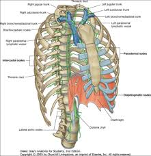 thoracic duct anatomy images learn human anatomy image