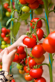 208 best growing tomatoes images on pinterest growing tomatoes