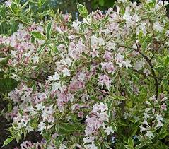 131 best flowers weigelas images on pinterest flowering shrubs