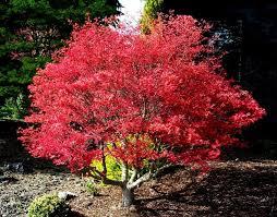 acer palmatum corallinum japanese maple tree acer palmatum