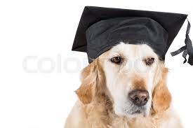 dog graduation cap golden retriever dog with graduation cap and white background