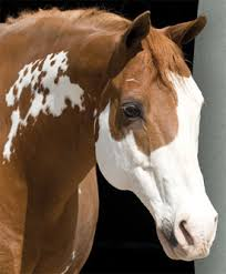 more genetic testing options for paint horses horsetalk co nz
