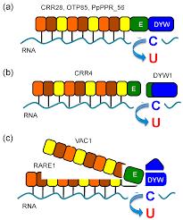 genes free full text rna editing and its molecular mechanism