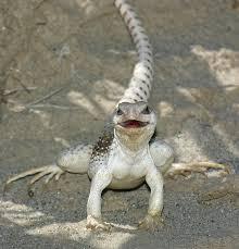 Backyard Reptiles Reptiles Of California U0027s Coachella Valley