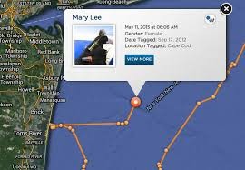 great white shark tracker mary lee spotted closer to jersey shore