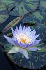 best 25 blue lotus flower ideas only on pinterest blue lotus