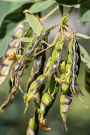 plants native to africa pigeon pea hawaii horticulture